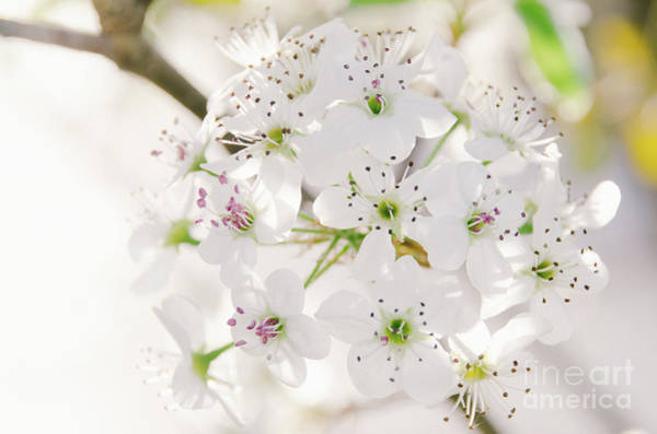 Photograph - Pear Blossoms 5 by Andrea Anderegg