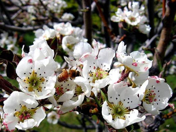 Wall Art - Photograph - Pear Blossoms And Bee by Will Borden