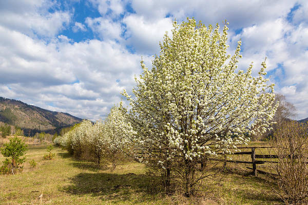 Photograph - Pear Trees In Bloom. Altai by Victor Kovchin