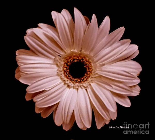 Wall Art - Photograph - Pearl Pink Daisy by Marsha Heiken