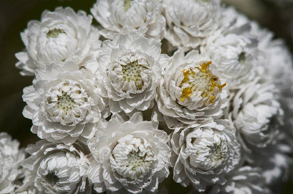 Photograph - Pearly Everlasting by Robert Potts