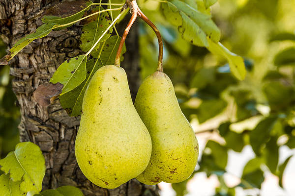 Photograph - Pears 2 Of A Kind by Teri Virbickis