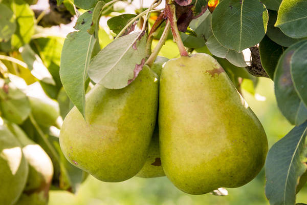 Photograph - Pears In The Tree by Teri Virbickis