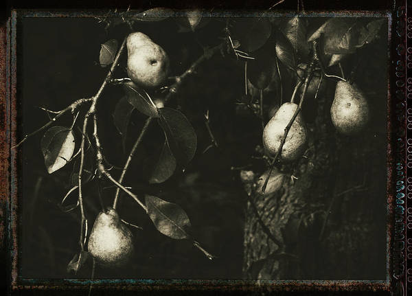 Photograph - Pears by Mother Nature