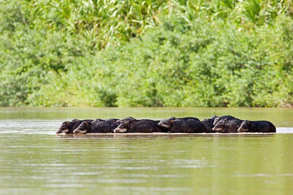 Peccaries Crossing River Art Print