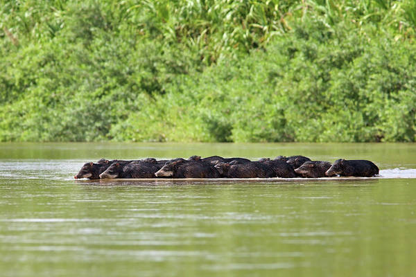 Peccaries Herd Crossing River Art Print