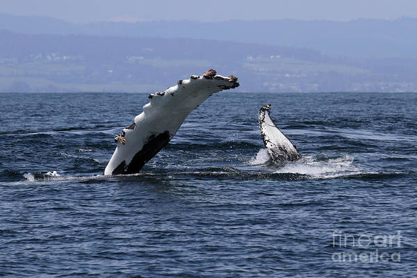 Photograph - Humpback Whale  Peck Slapping Whale In Monterey Bay April 10, 2017 by California Views Archives Mr Pat Hathaway Archives