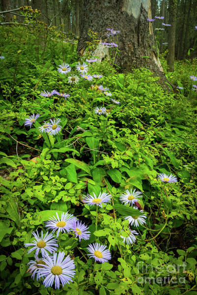 Aster Photograph - Pecos Asters by Inge Johnsson