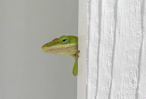 Photograph - Peek-a-boo Anole by Kevin McCarthy