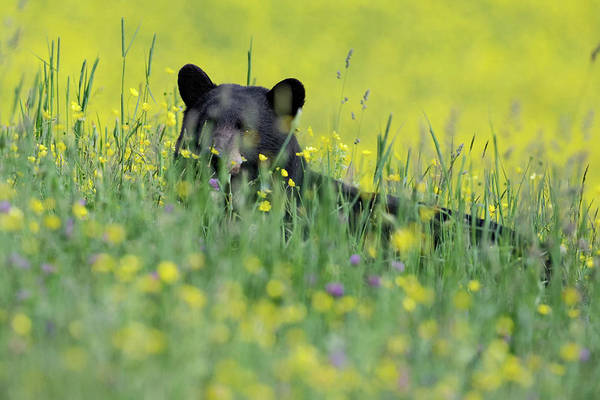Photograph - Peek A Boo Bear by Bill Wakeley