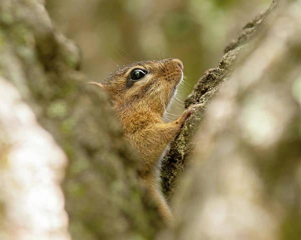 Photograph - Peek-a-boo Chipmunk by Lara Ellis