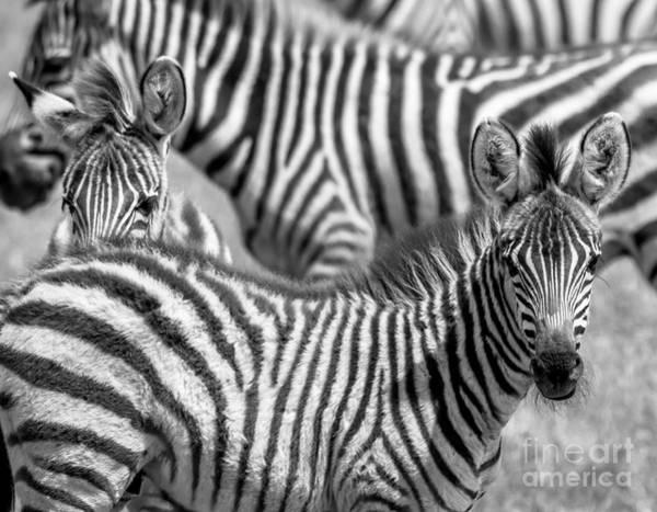 Photograph - Peek A Boo Zebra by Chris Scroggins