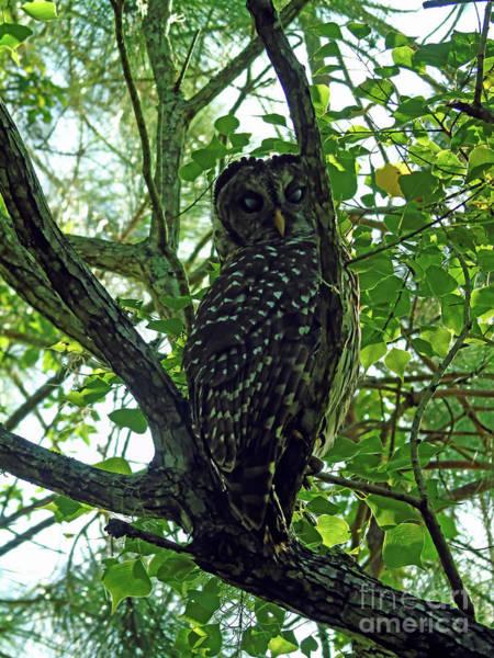 Photograph - Peek A Boo Owl by D Hackett