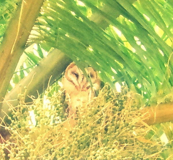 Photograph - Peek A Boo Owl by Karen J Shine