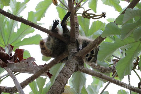 Photograph - Peek-a-boo Raccoon by Carol Groenen