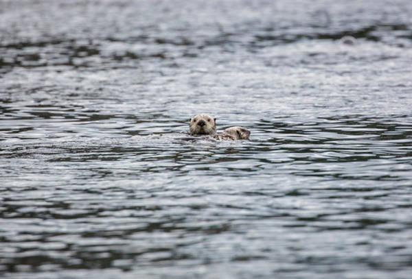Photograph - Peek A Boo Sea Otter by Gloria Anderson