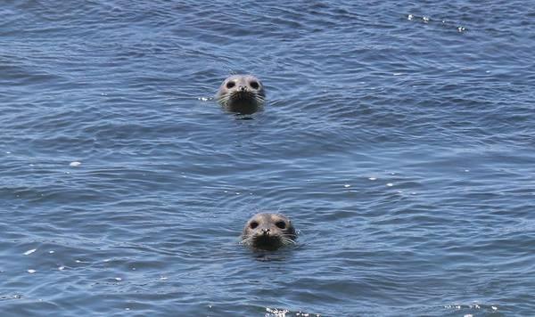 Photograph - Peek-a-boo Seals by Christy Pooschke