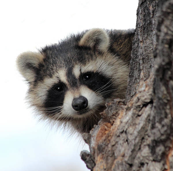 Raccoon Photograph - Peek-a-boo by Shane Bechler