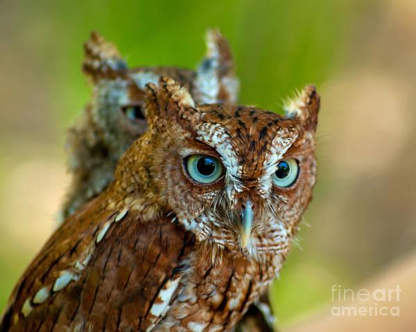 Screech Owl Photograph - Peek A Boo by Stephen Whalen