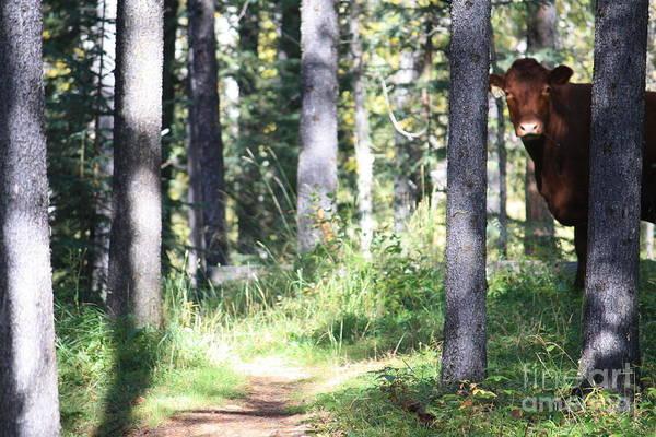 Photograph - Peek-a-moo by Wilko Van de Kamp