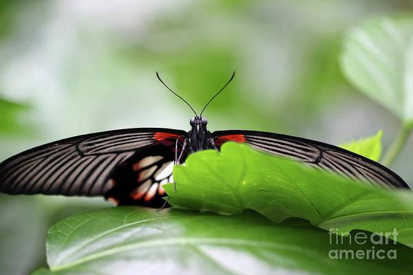 Photograph - Peekaboo Great Yellow Mormon Butterfly by Karen Adams
