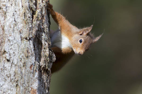 Photograph - Peekaboo - Red Squirrel #29 by Karen Van Der Zijden