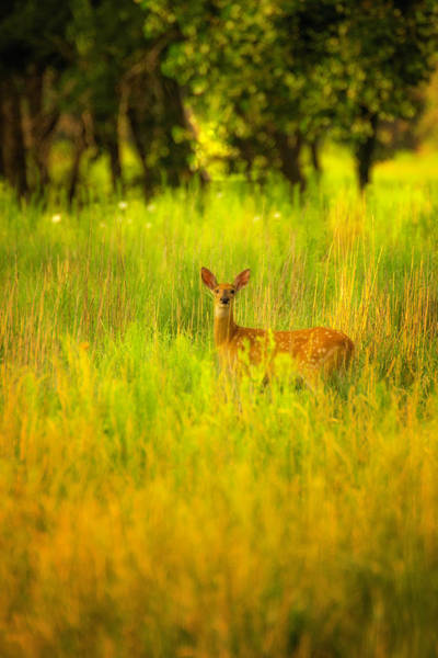 Photograph - Peekaboo With A Fawn by John De Bord