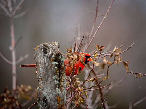 Photograph - Peeking Cardinal by Jeff Phillippi