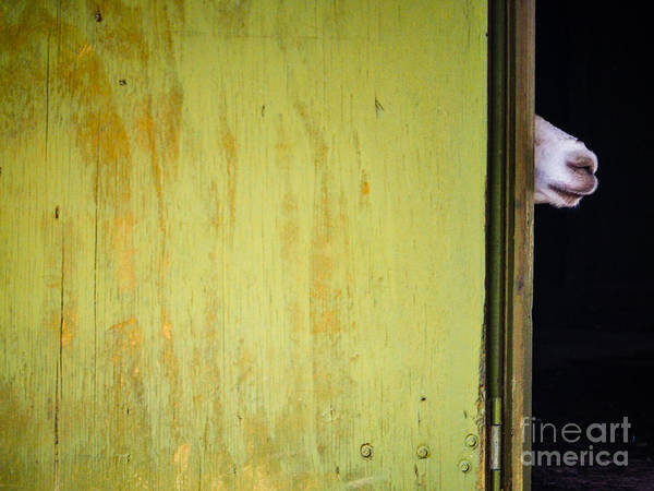 Photograph - Peeking Llama by Robin Zygelman