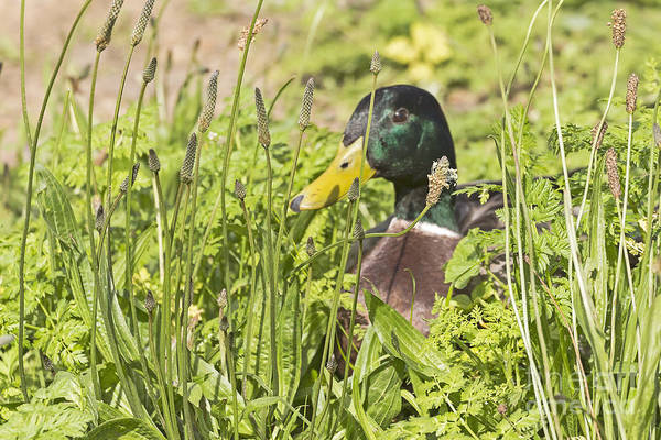 Photograph - Peeking Out Mallard by Kate Brown
