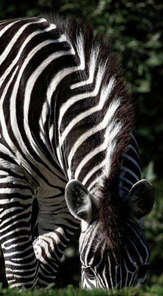 Photograph - Peeking Zebra by Wes and Dotty Weber