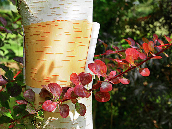 Photograph - Peeling Bark Of White Birch Tree by Gill Billington
