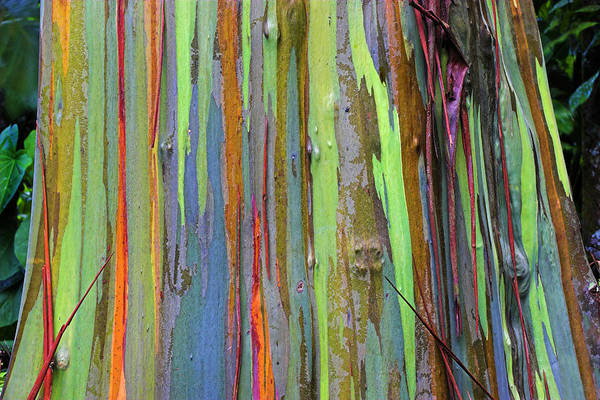 Forestry Photograph - Peeling Bark- St Lucia. by Chester Williams