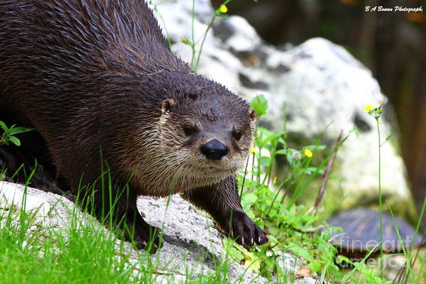 Photograph - Peering Otter by Barbara Bowen
