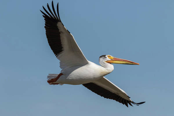 Photograph - Pelican 2017-1 by Thomas Young