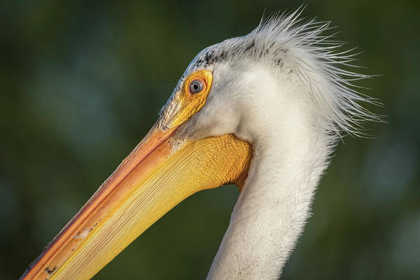 Photograph - Pelican 2017-3 by Thomas Young
