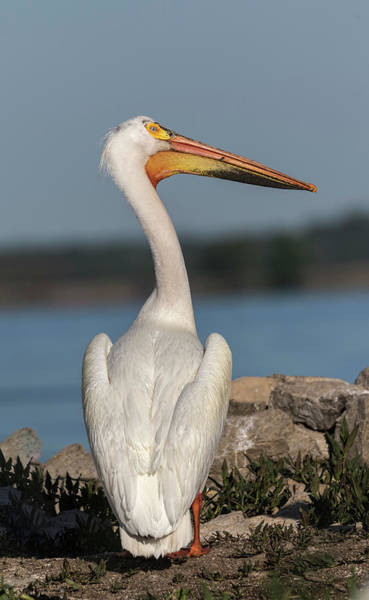Photograph - Pelican 2017-4 by Thomas Young