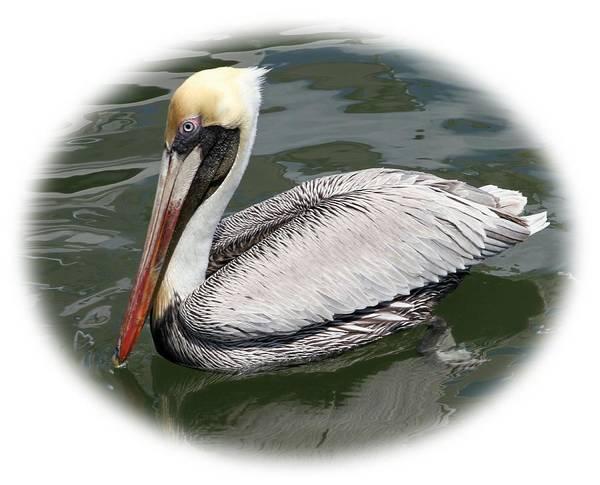 Photograph - Pelican 3 Vignette by Bob Slitzan