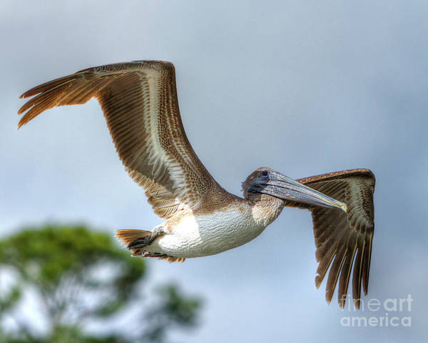 Photograph - Pelican-4443 by Tommy Patterson