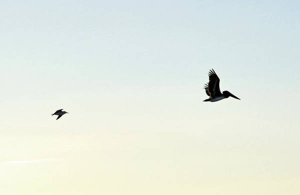Photograph - Pelican And Gull by Larah McElroy