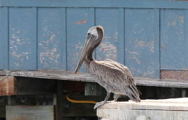 Photograph - Pelican At Fisherman's Wharf by Christy Pooschke