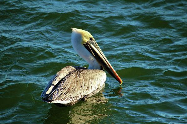 Photograph - Pelican Beauty by Cynthia Guinn