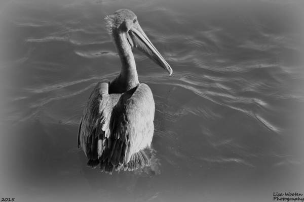 Photograph - Pelican Black And White by Lisa Wooten