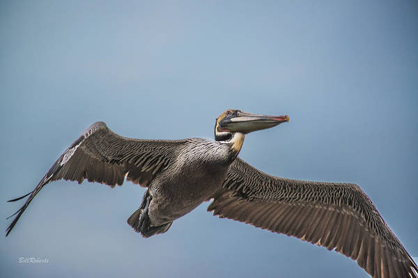 Wall Art - Photograph - Pelican Briefly by Bill Roberts