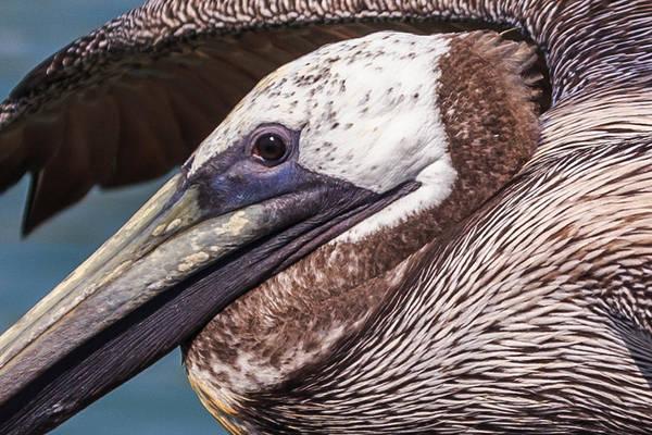 Wall Art - Photograph - Pelican Detail by Paul Schultz