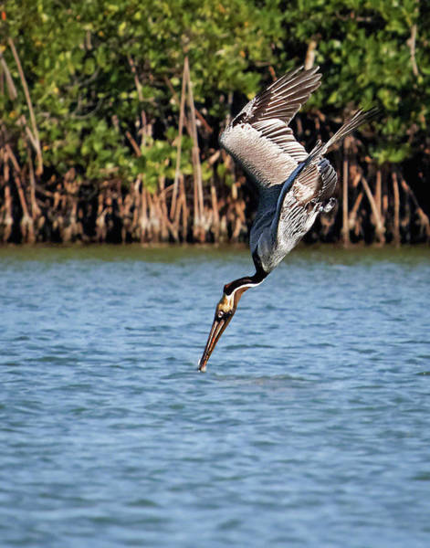 Wall Art - Photograph - Pelican Dive by Dawn Currie
