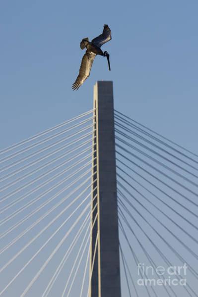 Brown Pelicans Photograph - Pelican Diving Arthur Ravenel Jr Bridge Over The Cooper River In Charleston South Carolina by Dustin K Ryan