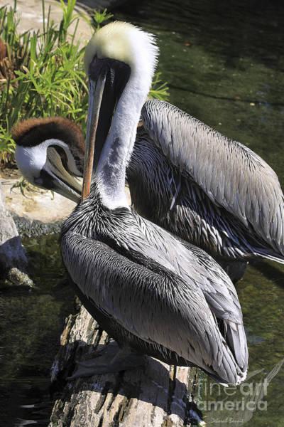 Photograph - Pelican Duo by Deborah Benoit