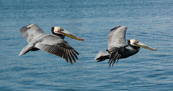 California Brown Pelican Photograph - Pelican Duo by Fraida Gutovich