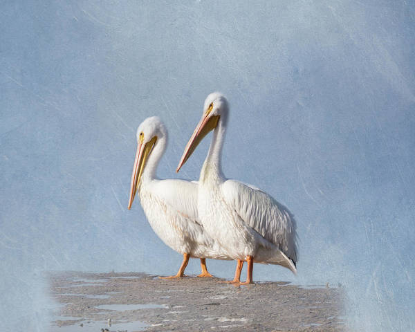 Fisher Island Photograph - Pelican Duo by Kim Hojnacki